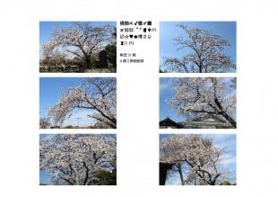 thumbnail-of-平成31年見性院桜